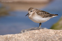 Photo - Semipalmated Sandpiper