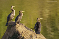Photo - Double-crested Cormorant