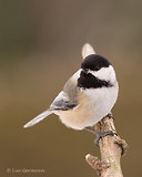 Photo - Black-capped Chickadee