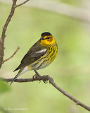 Photo - Cape May Warbler