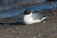 Photo - Bonaparte's Gull