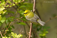 Photo - Blue-winged Warbler