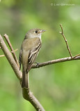Photo - Least Flycatcher