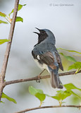 Photo - Black-throated Blue Warbler
