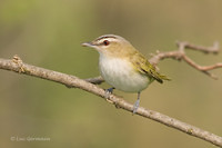 Photo - Red-eyed Vireo