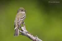 Photo - Alder Flycatcher