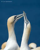 Photo - Northern Gannet