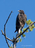Photo - Bald Eagle