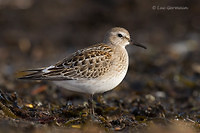 Photo - White-rumped Sandpiper