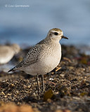Photo - American Golden-Plover