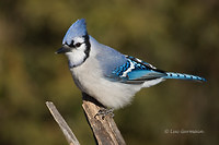 Photo - Blue Jay