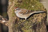 Photo - American Tree Sparrow