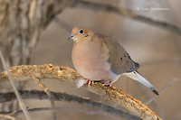 Photo - Mourning Dove