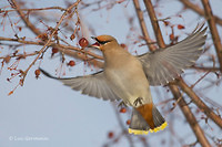 Photo - Bohemian Waxwing