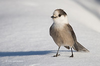 Photo - Gray Jay
