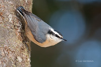 Photo - Red-breasted Nuthatch