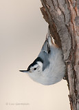 Photo - White-breasted Nuthatch