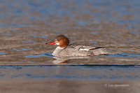 Photo - Common Merganser