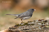 Photo - Dark-eyed Junco