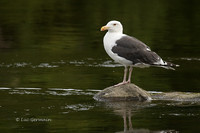 Photo - Great Black-backed Gull