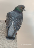 Photo - Rock Pigeon