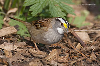 Photo - White-throated Sparrow