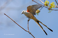Photo - Scissor-tailed Flycatcher