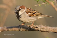 Photo - House Sparrow