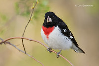 Photo - Rose-breasted Grosbeak