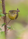 Photo - Orange-crowned Warbler