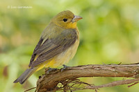 Photo - Scarlet Tanager