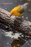 Photo - Prothonotary Warbler