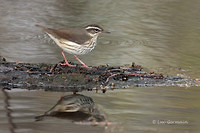 Photo - Louisiana Waterthrush