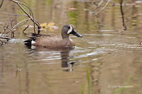 Photo - Blue-winged Teal