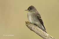 Photo - Eastern Wood-Pewee