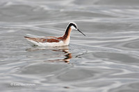Photo - Phalarope de Wilson