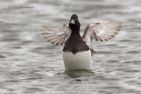 Photo - Lesser Scaup