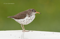 Photo - Spotted Sandpiper