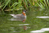 Photo - Red-necked Phalarope
