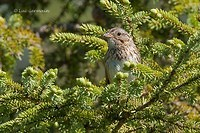 Photo - Lincoln's Sparrow