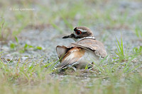 Photo - Killdeer