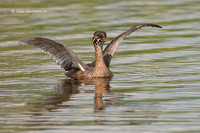 Photo - Pied-billed Grebe