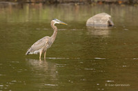 Photo - Great Blue Heron