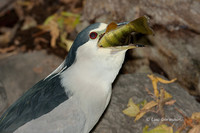 Photo - Black-crowned Night-Heron