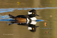 Photo - Hooded Merganser