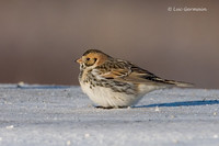 Photo - Lapland Longspur
