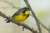 Photo - Canada Warbler