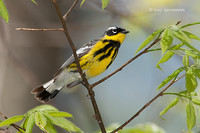 Photo - Magnolia Warbler