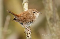 Photo - House Wren