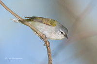 Photo - Tennessee Warbler